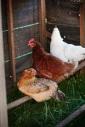 chickensblogsize(1)